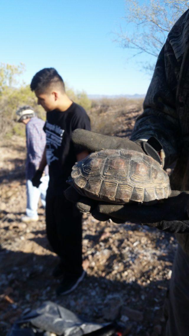 Desert Tortoise relocated to safe spot